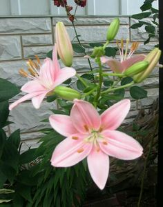 I LOVE LILLIES