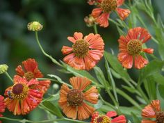 It's Never Too Early to Plan for a Fantastic Fall Garden: Flowers to Plant for Fall - Helenium (Helenium autumnale)
