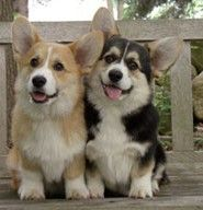 Welsh Corgies :)