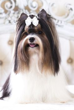 15 Best Apartment Dogs for City Dwellers Luckily for dog lovers, cramped quarters. Havanese Grooming, Havanese Dogs, Yorkie Puppy, Yorkies, Chien Yorkshire Terrier, Biewer Yorkshire, Dog Grooming Salons, Dog Grooming Business, Pet Grooming