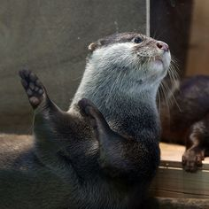 Otter Does the Hula Dance Via Beginners Blog Otter