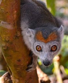 Crowned lemur (Eulemur coronatus) - The crowned lemur is endemic to the dry deciduous forests of the northern tip of Madagascar.