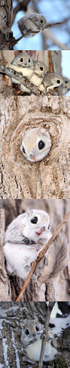 Siberian or Russian flying squirrels pictured on Japanese island Hokkaido Pictures of them playing are unusual as they are shy animals and nocturnal