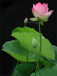 195 Best Lotus Flower Oil Painting Images In 2016 Lotus Lotus