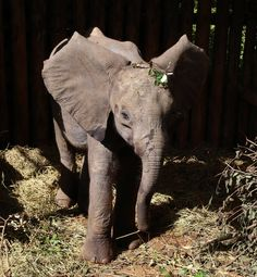 Meet the newest rescued orphan, Tusuja who was reassured by the other orphans nearby. Thanks to David Sheldrick Wildlife Trust. You can adopt an orphan for as little as $50.00 a year.