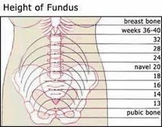 Uterus Size Chart
