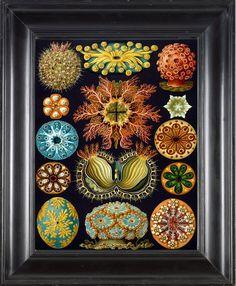 CORAL PRINT Ernst Haeckel 8X10 Art Print 8 by FleurDeNature, $10.00