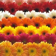 Resultados de la Búsqueda de imágenes de Google de http://www.floreslilium.cl/fotos/gerbera.jpg