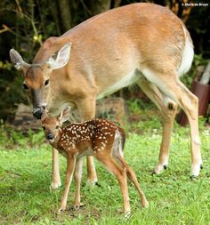 White-tailed Deer with Fawn ~ spotted by  Maria dB