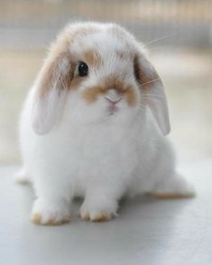 Holland lop treats and toys for your rabbit to play with some new toys and other information you can do with your pet bunny Mini Lop Bunnies, Cute Baby Bunnies, Cute Babies, White Bunnies, Bunny Rabbits, Cute Bunny Pictures, Baby Animals Pictures, Cute Little Animals, Cute Funny Animals