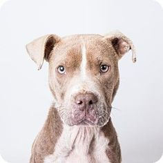 ACT QUICKLY OUT OF TIME PLEASE SHARE NOW Decatur, GA - American Pit Bull Terrier Mix. Meet Taurus, a dog for adoption. http://www.adoptapet.com/pet/16926030-decatur-georgia-american-pit-bull-terrier-mix