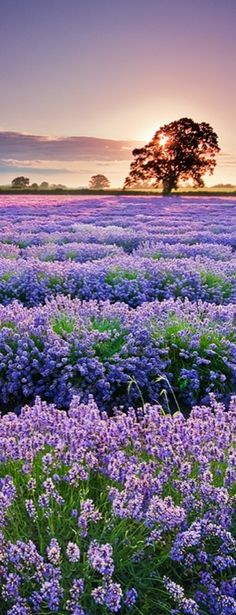 Sunrise over the lavender field