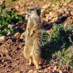 This gorgeous guy was the bravest of the mob... #meerkat #wildlife #Oudtshoorn #KYStravels #travel #southafrica