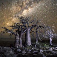 Starry night, Kubu Island, Botswana (photo by African Tree, Baobab Tree, Wild Nature, Milky Way, Night Skies, Sky Night, Tree Of Life, Photoshop Actions, Mother Nature