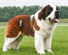 Giant Dogs, Big Dogs, Large Dogs, Cute Dogs, Dogs And Puppies, Chien Saint Bernard, St Bernard Puppy, Big Dog Breeds, Tallest Dog
