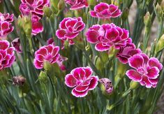 Top 10 most beautiful flowers in the US. Orchids, Plants, Planting Flowers, Carnations, Beautiful Flowers, Flower Names, Dianthus Caryophyllus, Cranesbill Geranium, Flowers