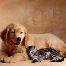 Puppy And Kitten Cute Cats And Dogs Golden Retriever Retriever