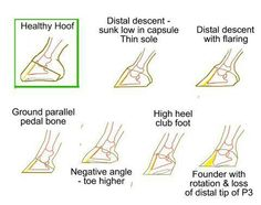 Resultado de imagen para what is a healthy hoof Horses And Dogs, Show Horses, Dressage, Horse Anatomy, Animal Anatomy, Horse Information, Horse Care Tips, Horse Facts, Horse Camp
