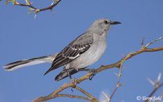 Mockingbird...loud and bit mean!