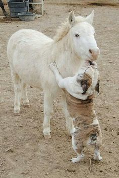 Cute little white pony or miniature horse an bulldog. Horse and dog. Horses And Dogs, Animals And Pets, Baby Animals, Funny Animals, Cute Animals, Mini Horses, Bulldog Puppies, Dogs And Puppies, Doggies