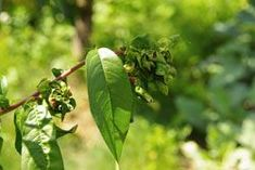 Kräuselkrankheit an Pfirsichen bekämpfen – 7 effektive Tipps vorgestellt