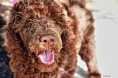 #Poodle #cutie #Happy Issy