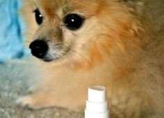 Essential OIls Dog spray, which can leave your dog refreshed, as well as have a calming effect