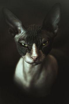 Sphinx Cat by Arseniy Neyman
