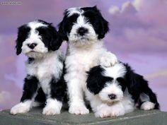 Tibetan Terriers... So cute!!