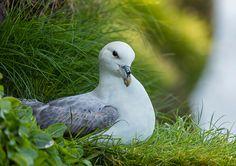 Northern Fulmar, Mykines, Faroe Islands