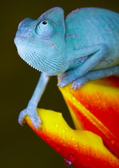 Chameleon rolling his eyes at the Geiko gecko Les Reptiles, Reptiles And Amphibians, Mammals, Baby Animals, Funny Animals, Cute Animals, Beautiful Creatures, Animals Beautiful, Salamander