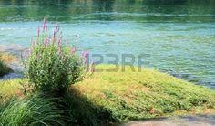 Lythrum salicaria on Zrmanja river near Muskovci, Croatia