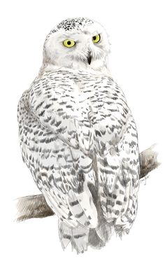 Nyctea Scandiaca by emkaKl on DeviantArt Owl Art, Bird Art, Watercolor Painting Techniques, Watercolor Paintings, Owl Watercolor, Owl Drawings, Owl Family, Owl Pictures, Color Pencil Art