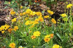 Lance leaf Coreopsis – Coreopsis lanceolata - 20 seeds - Tickseed, Sand Coreopsis, ~ Attracts Butterflies ~ Drought Tolerant, Easy to Grow on Etsy, $2.95