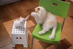 Cats duel