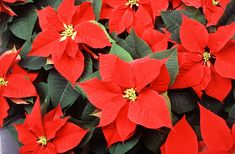 Les plus belles plantes tropicales: Euphorbia pulcherrima Poinsettia Plant, Christmas Poinsettia, Christmas Flowers, Christmas Cards, Christmas Star, Merry Christmas, Euphorbia Pulcherrima, Beautiful Gardens, Beautiful Flowers
