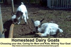 Keeping Homestead Dairy Goats - Choosing Your Doe, Caring for Mom and Kids, Milking Your Goat. #goats