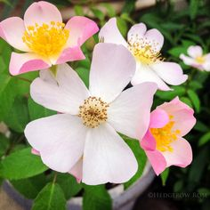 Lyda Rose  (from Hedgerow blog)