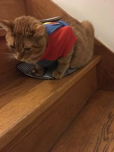 My kitty Peanut feels much safer and happier with his Superman T-Shirt on http://ift.tt/2xz8zbt