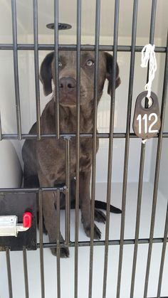 04/21/17-PLEASE HURRY!!!! HOUSTON - EXTREMELY URGENT -This DOG - ID#A481817 I am a female, blue Weimaraner. The shelter staff think I am about 1 year old. I have been at the shelter since Apr 21, 2017. This information was refreshed 20 minutes ago and may not represent all of the animals at the Harris County Public Health and Environmental Services.