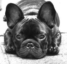 Angus ❤️, the French Bulldog Brindle French Bulldog, Cute French Bulldog, French Bulldog Puppies, French Bulldogs, I Love Dogs, Cute Dogs, Pug Breed, Puppies And Kitties, Dog Memes