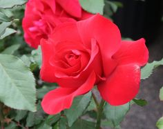 In The Moon -Red Hybrid Tea Rose