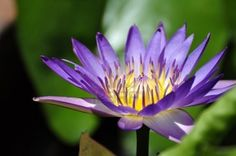 Lotus flower in a park in Hue Stock Photo