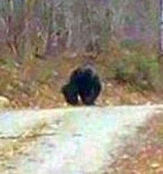 Maine Sasquatch in the middle of the road drinking from a mud puddle. Bigfoot Pictures, Scary, Creepy, Finding Bigfoot, Bigfoot Sightings, Mysteries Of The World, Bigfoot Sasquatch, Unexplained Mysteries, Mothman