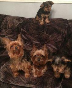 Mis cachorros yorkshire