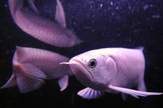 whats this? oh, its a white arowana fish that costs +$80,000; unbelievable, but kinda funny too....