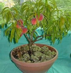 Melocotonero - is a tree bearing fruit - in this instance, it is a Peach tree a la Bonsai. Wonderful, Keva xo