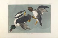 "The Birds of America, Plate #342: ""Golden-eye Duck"", John James Audubon, 1827–1838, Transfer from the North Carolina State Library"