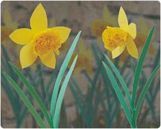Quick Daffodils This Daffodil can easily be made even at the last minute. The construction of the flower is so simple, that you can easily make a whole field of daffodils! Daffodil Craft, Daffodil Flower, Flower Petals, Daffodils Poem, Easter Crafts, Crafts For Kids, Welsh Gifts, Pulsar, Origami Easy