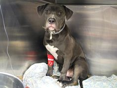 A1045956_Bania SUPER URGENT! This dog has been bleeding internally since July 30th in major abdominal pain n no help! WHY HASNT SOMEONE SAVED HIM, HE IS SUFFERING, he is so small n terrified, this is an outrage! PLEASE IF U KNOW OF ANYONE THAT CAN OPEN THEIR HOME TO HIM SPREAD THE WORD! ANY RESCUE THAT CAN SAVE HIM PLEASE HE IS A SUFFERING LIL BABY THAT NEEDS MEDICAL ATTENTION ASAP! PLEASE IN GODS NAME, SAVE HIM! BEFORE ITS TOO LATE FOR BANIA!!! CHOOSE LIFE!